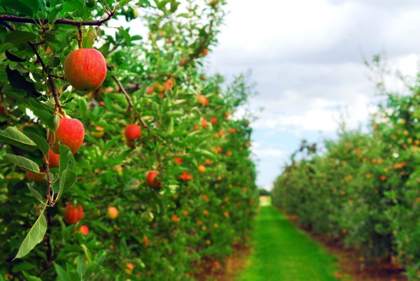 Image - An apple orchard in Kyiv oblast.