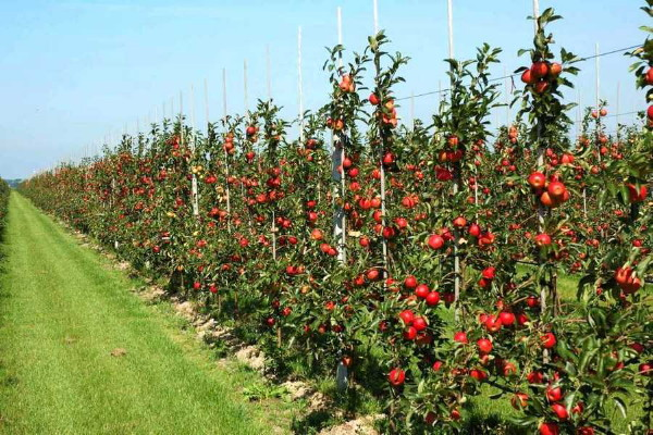 Image - An apple orchard in Vinnytsia oblast.