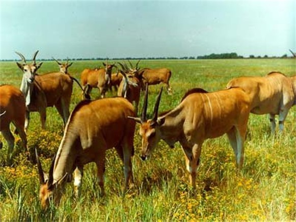 Image - Antelopes in the Askania-Nova Biosphere Reserve.