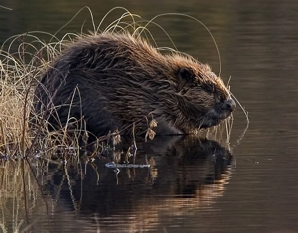 Image - Old World (European) beaver