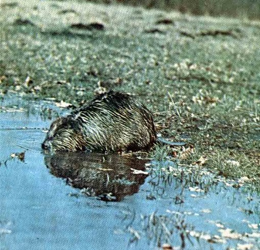 Image - A beaver in the wildlife preserve in Rokytne, Zhytomyr oblast.