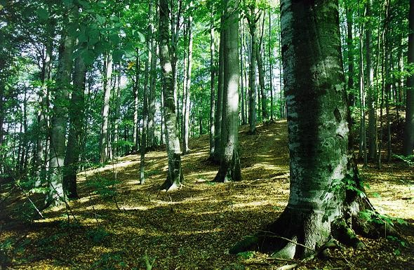 Image - Beech forest in Carpathian Mountains.