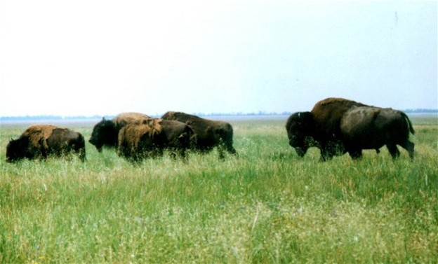 Image - European bisons in the Askaniia-Nova Biosphere Reserve.
