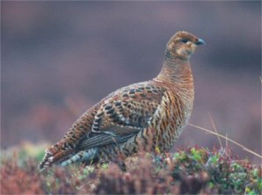 Image - Black grouse (hen).