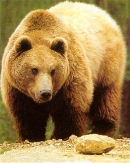 Brown bear - photo#28