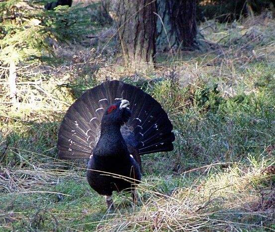 Image - Capercaillie (male).