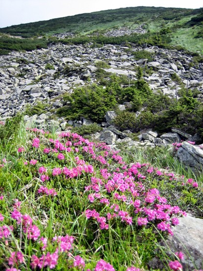 Image - Carpathian rhododendron in the Chornohora region.