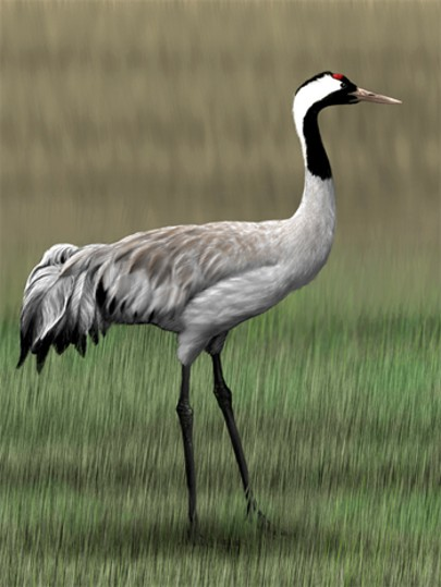 Image - Common crane