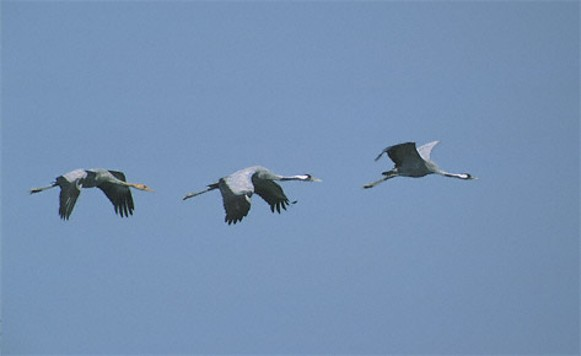 Image - Common cranes