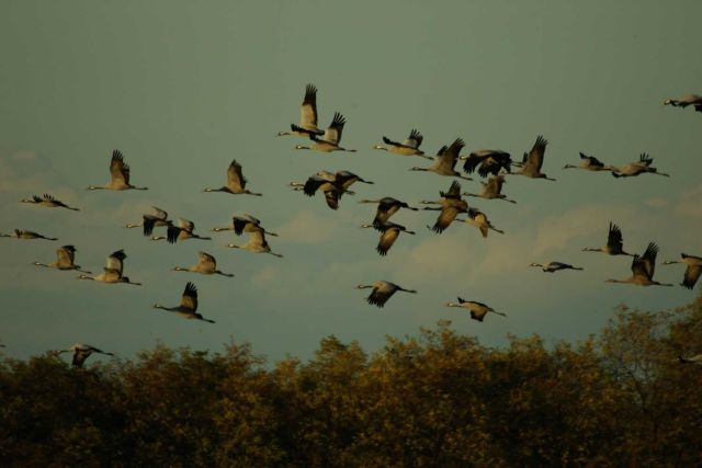 Image - Migrating common cranes