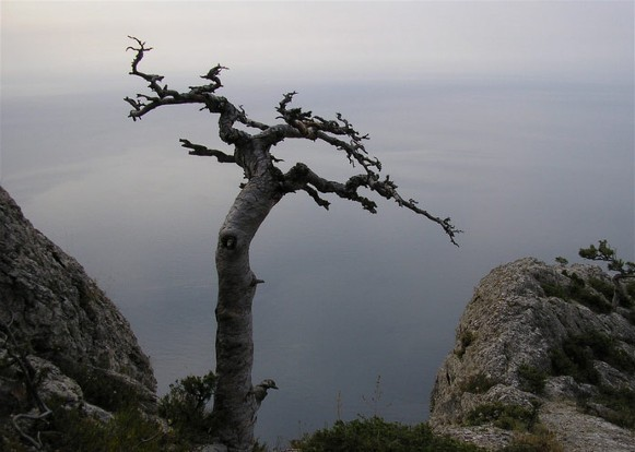 Image - A crooked pine in the Crimean Mountains.