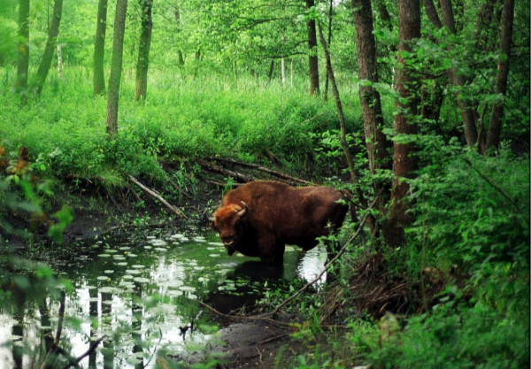 Image - European bison in the Bilovezha Forest.