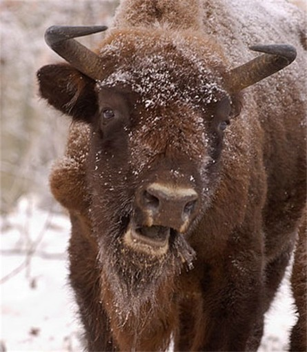 Image - European bison
