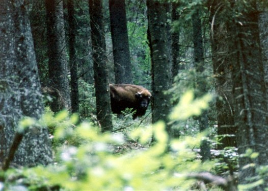Image - European bison in a forest in Sumy oblast.