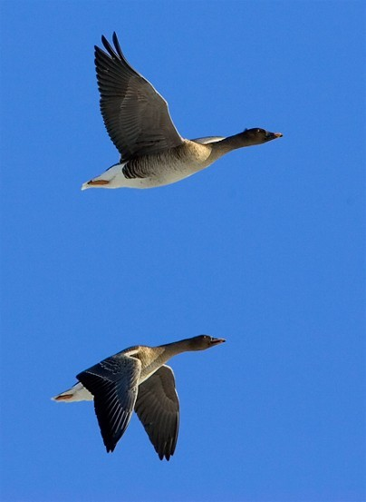Image - Bean geese in flight