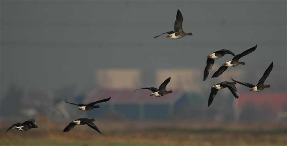 Image - Lesser white-fronted geese in flight