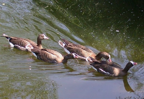 Image - Lesser white-fronted geese