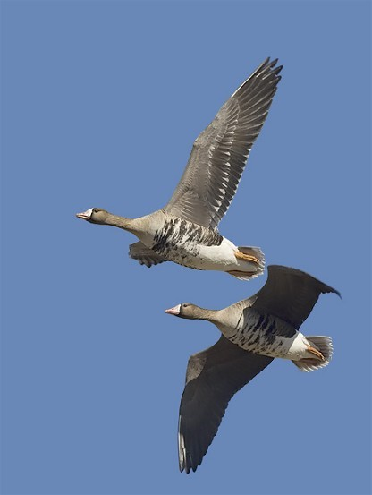 Image - White-fronted geese
