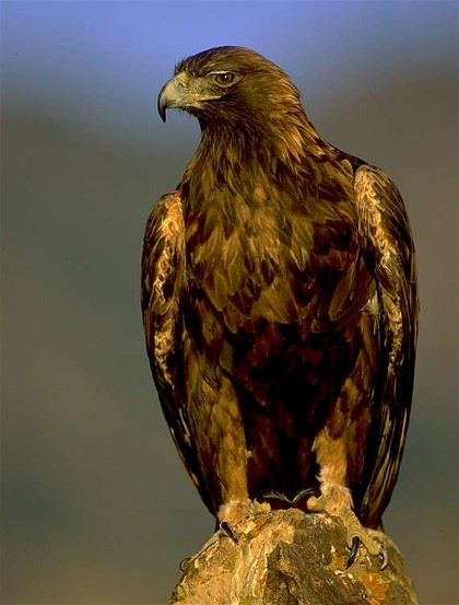 Image - Golden eagle (Berkut eagle).