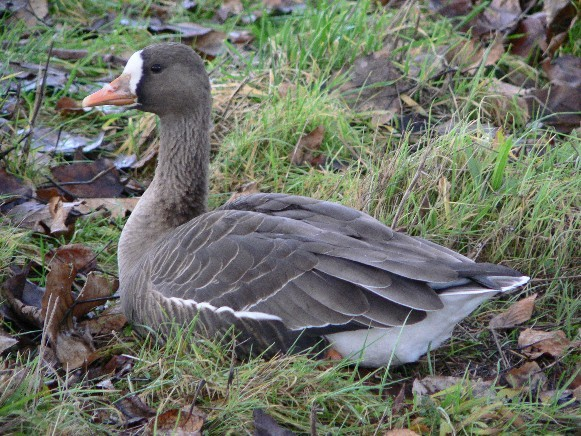 Image - White-fronted goose