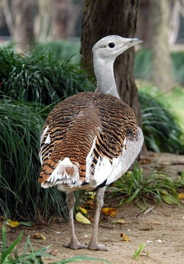 Image - Great bustard