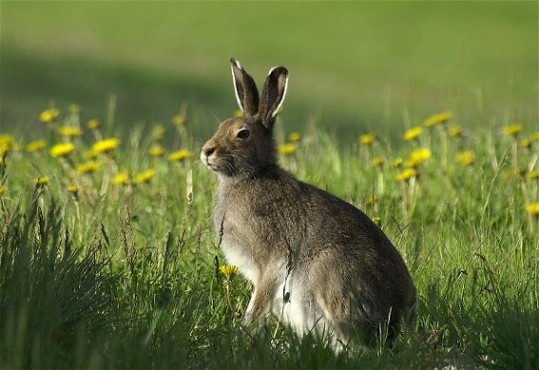 Image - Blue hare