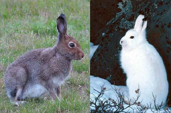 Image -- Blue or white hare