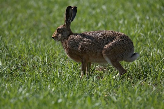 Image - Brown hare