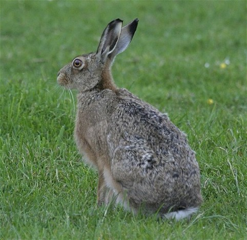 Image -- Brown hare