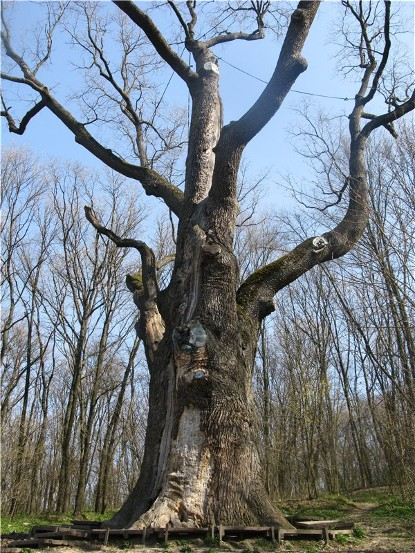 Image - The Zalizniak Oak in Kholodnyi Yar, near Chyhyryn, Cherkasy oblast.