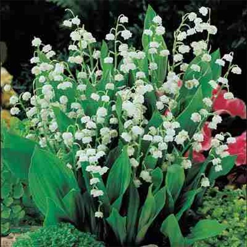 Image - Lily of the Valley