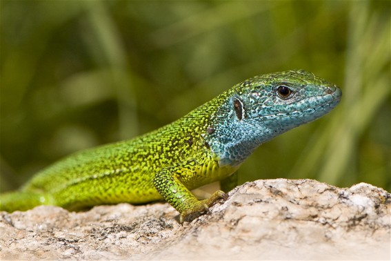 Image -- Green lizard