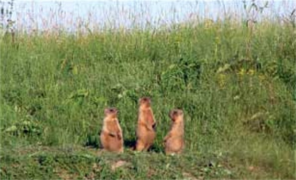 Image - Marmots in the Striletskyi Steppe reserve.