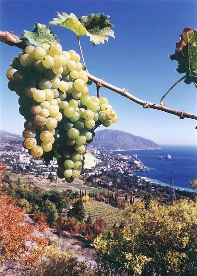 Image - A vineyard in Masandra in the Crimea.