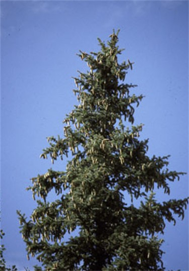 Image - Mountain spruce