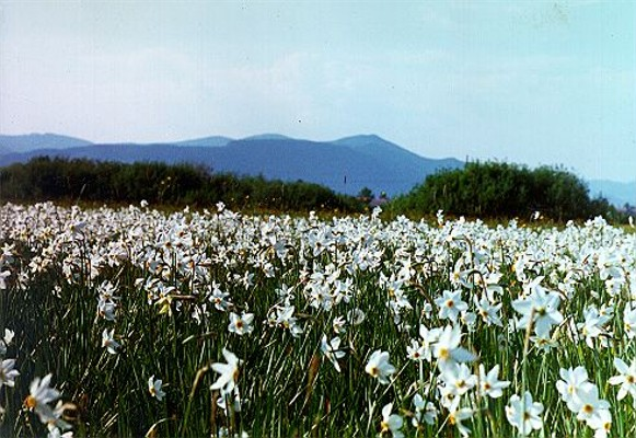Image -- The Narcissus Valley in the Carpathian Biosphere Reserve.