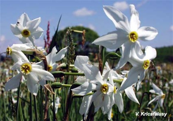 Image - Narcissus flowers