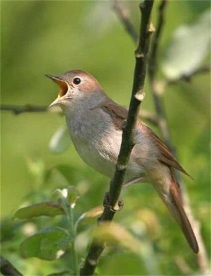 Image - Common nightingale