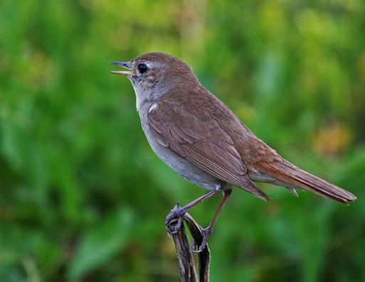 Image - Southern or western nightingale