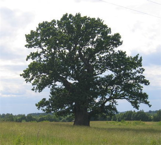 Image - An oak tree