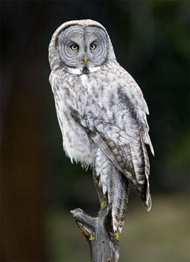 Image -- Great gray owl