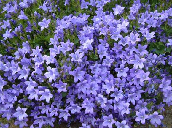 Image - Periwinkle