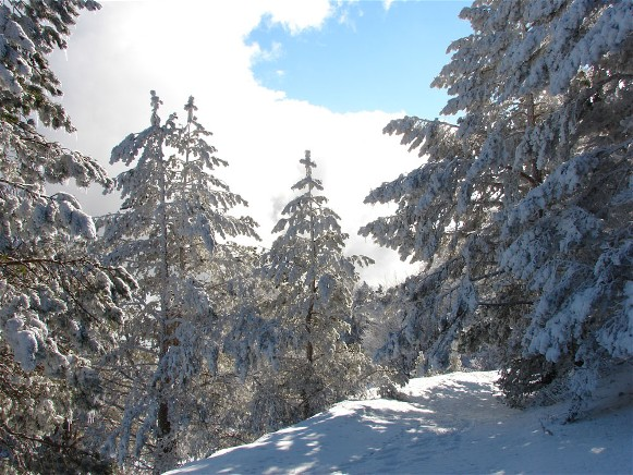 Image - Pine trees in the Crimean Mountains.