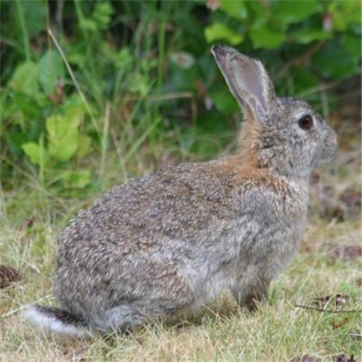 Image - Cottontail rabbit
