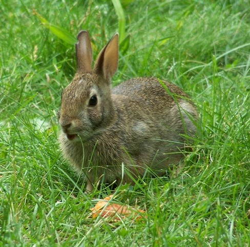 Image - European rabbit