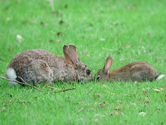 Image - European rabbits
