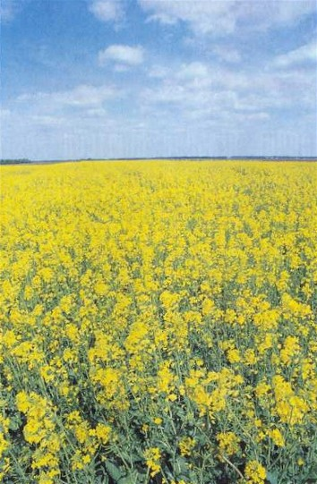 Image - Field of rape in flower.