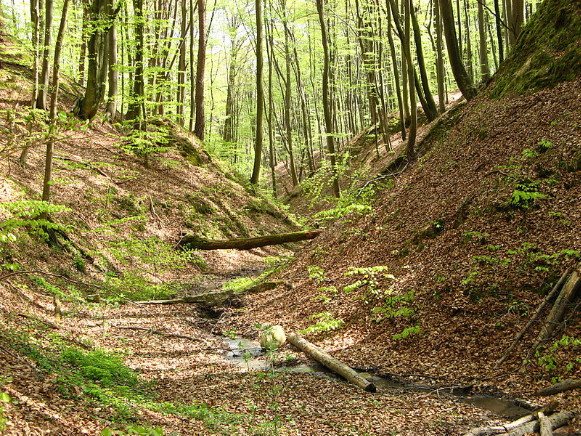 Image - Forest in the Rava Ruska Roztochia Regional Landscape Park.