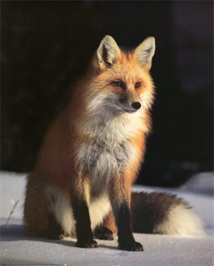 Image - Red fox in winter