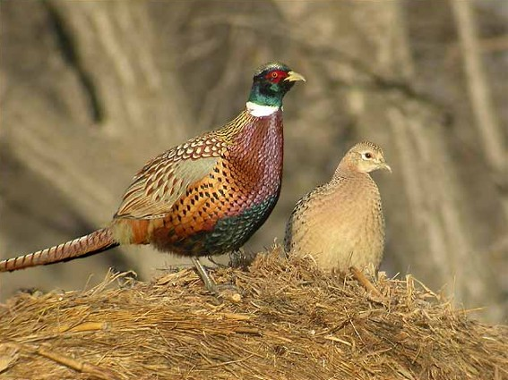 Image - A pair of ringed-necked pheasants.